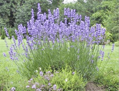 Herb of the Week: Lavender