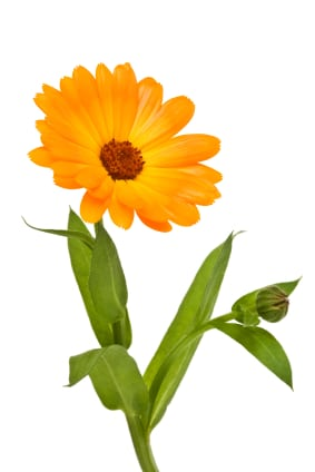 calendula isolated on the white background