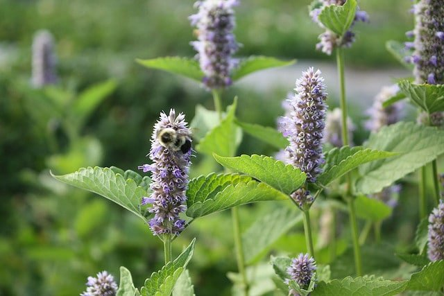 Hyssop For Skin The Natural Cleanser