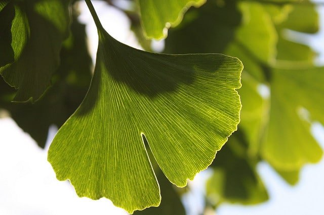 Ginkgo Biloba, the New Anti-Aging Herb