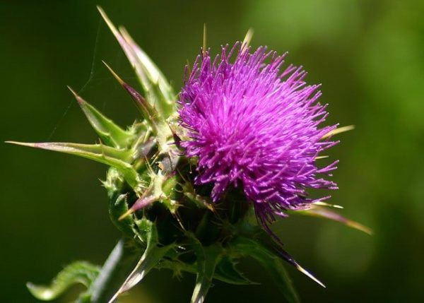 milk thistle for liver detox