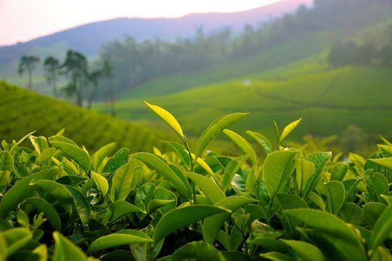 difference between green tea and black tea pdf