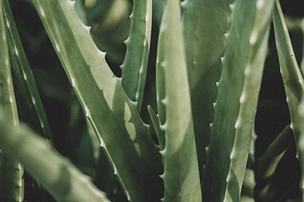 Aloe Vera for Skin, the Moisturizing Wonder Plant