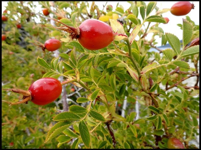 rosehip seed oil for skin antiaging with vitamin a