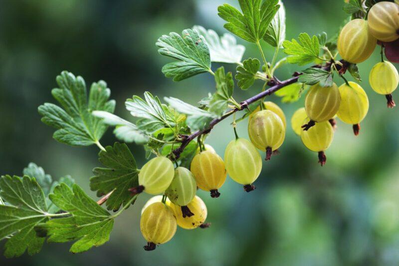 amla berry