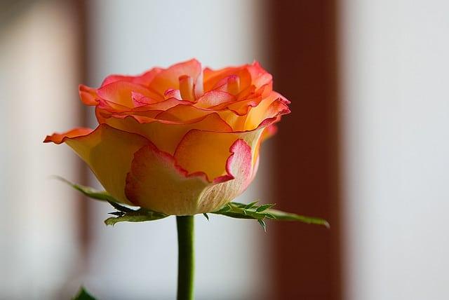 Rose for Skin, the Sweet Toner