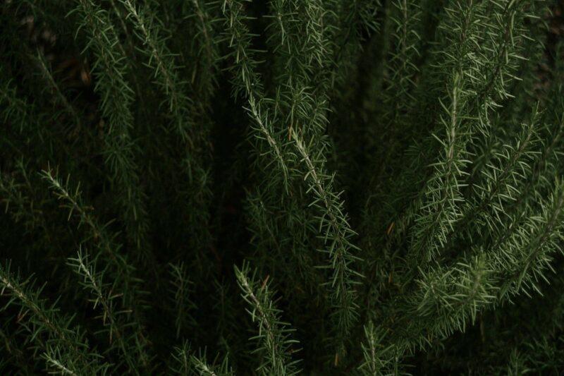 Rosemary for Skin