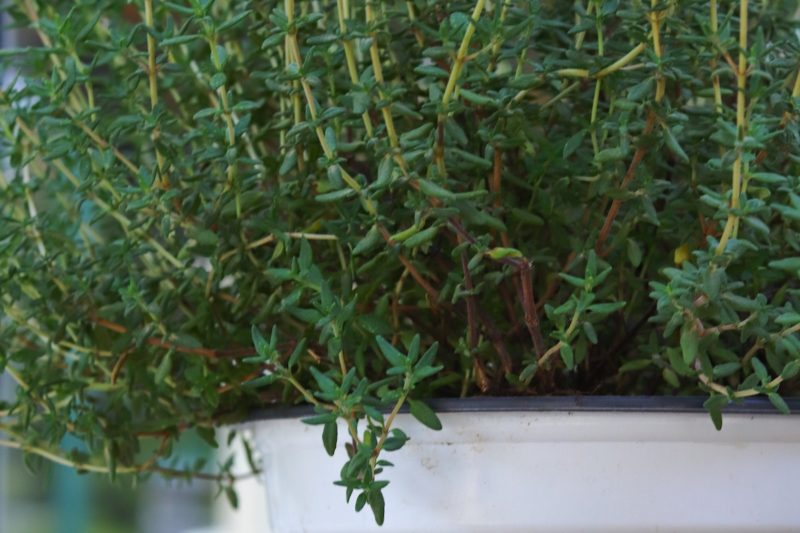 Thyme for Skin, the Natural Solution for Oily and Sensitive Skin
