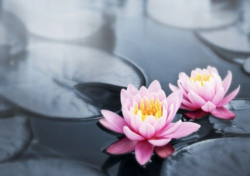 Lotus for skin the purifying and restoring fragrant flower lotus flower mightylinksfo