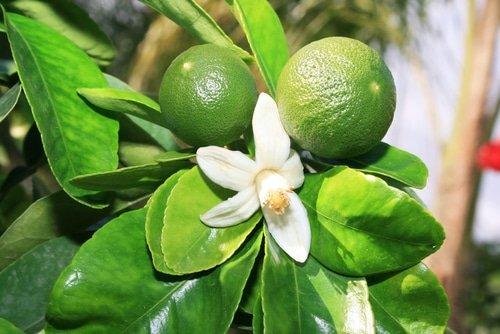 Green Mandarin