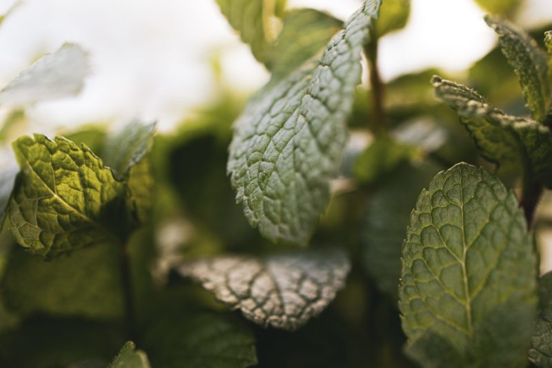 Peppermint Oil for Skin, the Refreshing, Oil Balancing Herb
