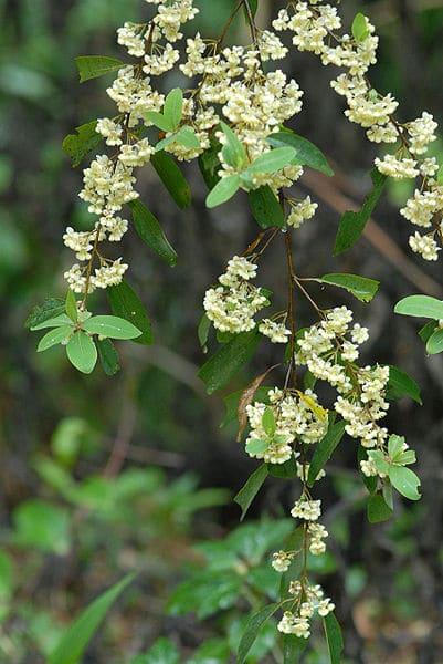 401px-Litseacubebaflowers