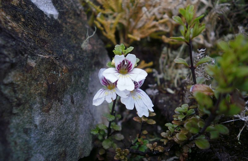 Eyebright—It Really Does Help the Eyes
