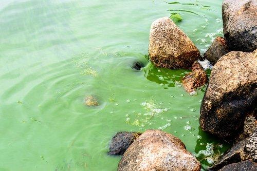 Algae Extract