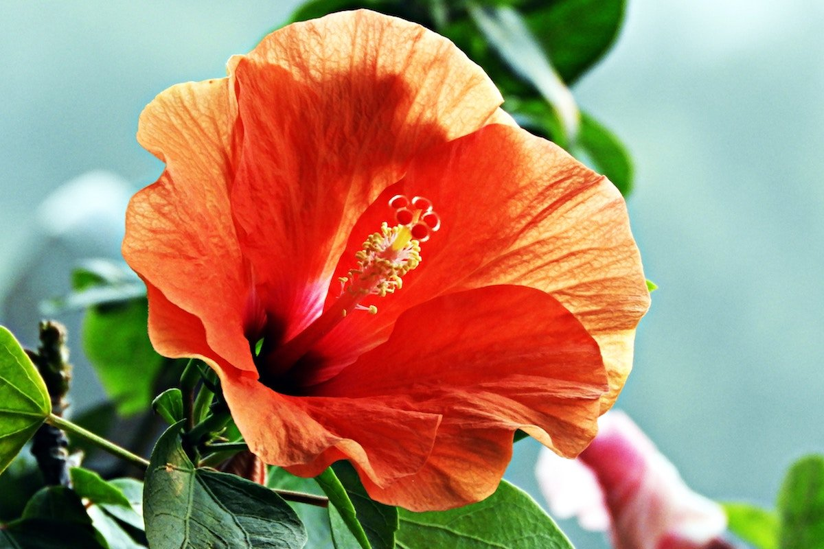 hibiscus for skin