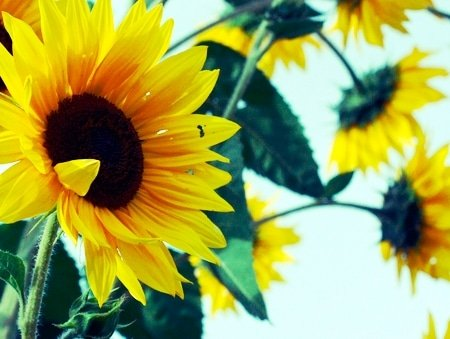 Sunflowers - Team Retreat