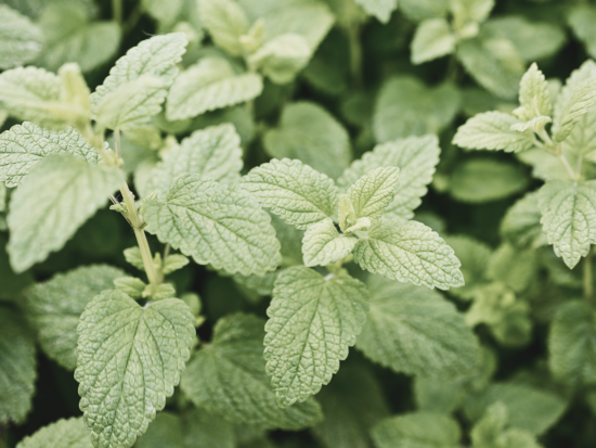 Lemon Balm Benefits & Uses: A Super-Herb for Your Skin (and Your Health)