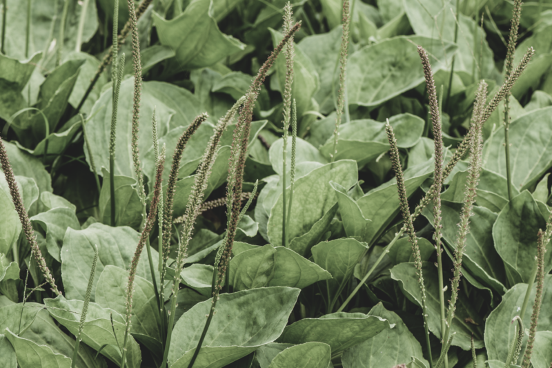 """Plantago for Skin, Also Known as """"Great Plantain,"""" and its Deep-Cleansing Effects 4"""