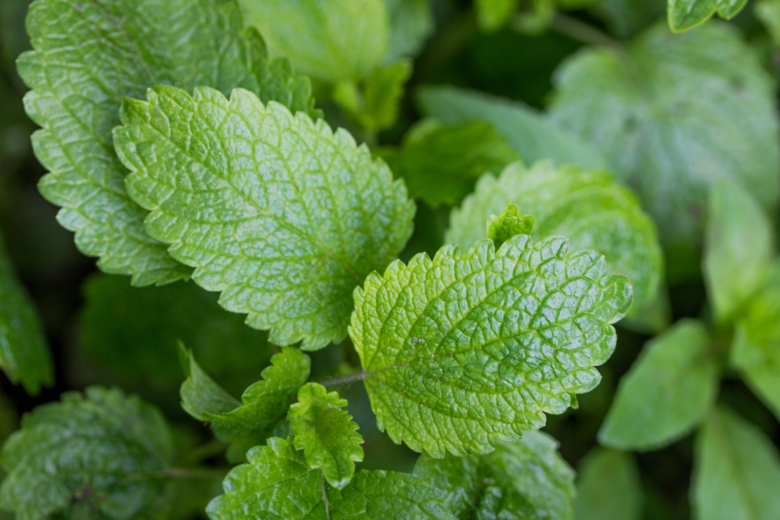 bitter herbs for gut health lemon balm
