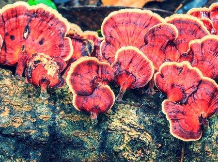 Reishi Mushroom for Immunity