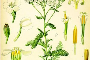 Yarrow, the Panacea — 12+ Ways to Use This Amazing Plant