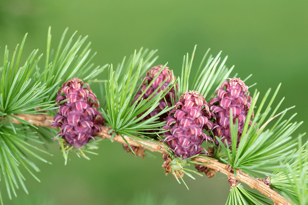larch tree extract