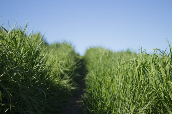 Vetiver oil is extracted from the roots of the vetiver plant