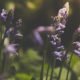myths about lavender