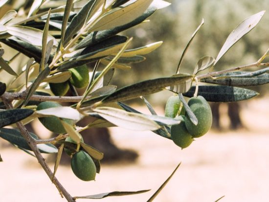 The Benefits of Olive Leaves and Oil for Skin, the Ancient Skin Care Secret of the Greeks