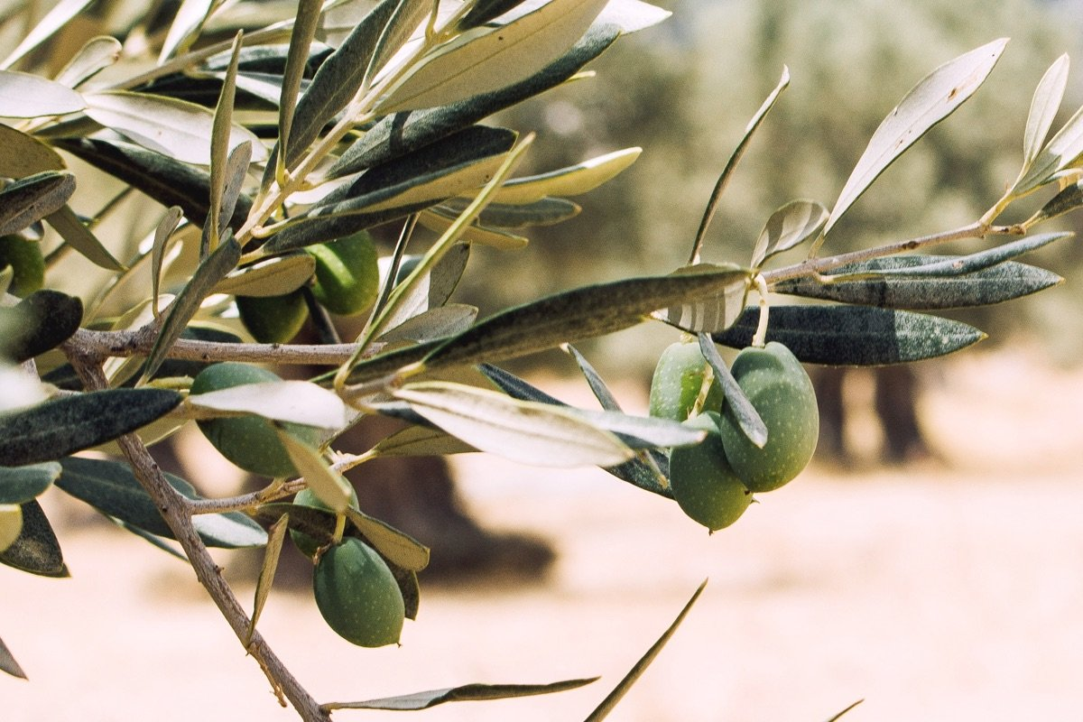 The Benefits of Olive Leaves and Oil for Skin, the Ancient Skin Care Secret of the Greeks 1