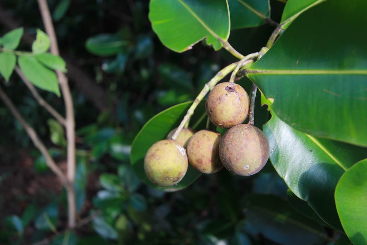 tamanu_ingredient_spotlight