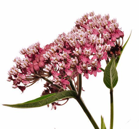 common Milkweed Wildflower