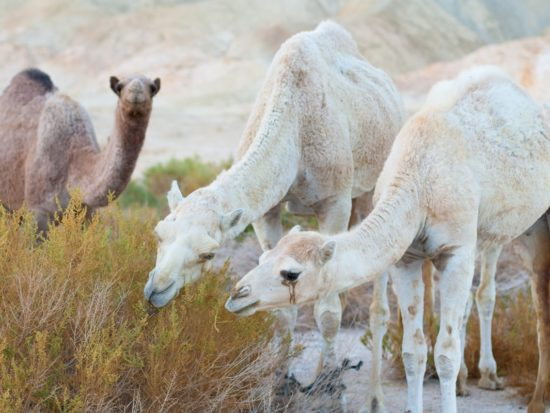I Drank Camel Milk for a Week (And I'm Lactose Intolerant!) Here's What Happened.