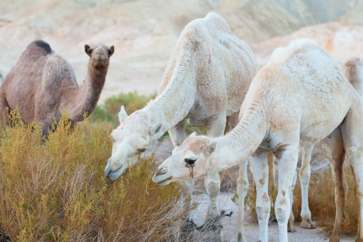 I Drank Camel Milk for a Week (And I'm Lactose Intolerant!) Here's What Happened. 1