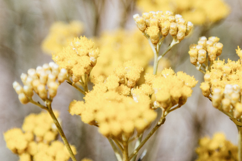 Helichrysum: Skin Care Uses and Benefits