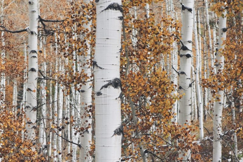 Aspen Bark, the All-Natural Preservative 1