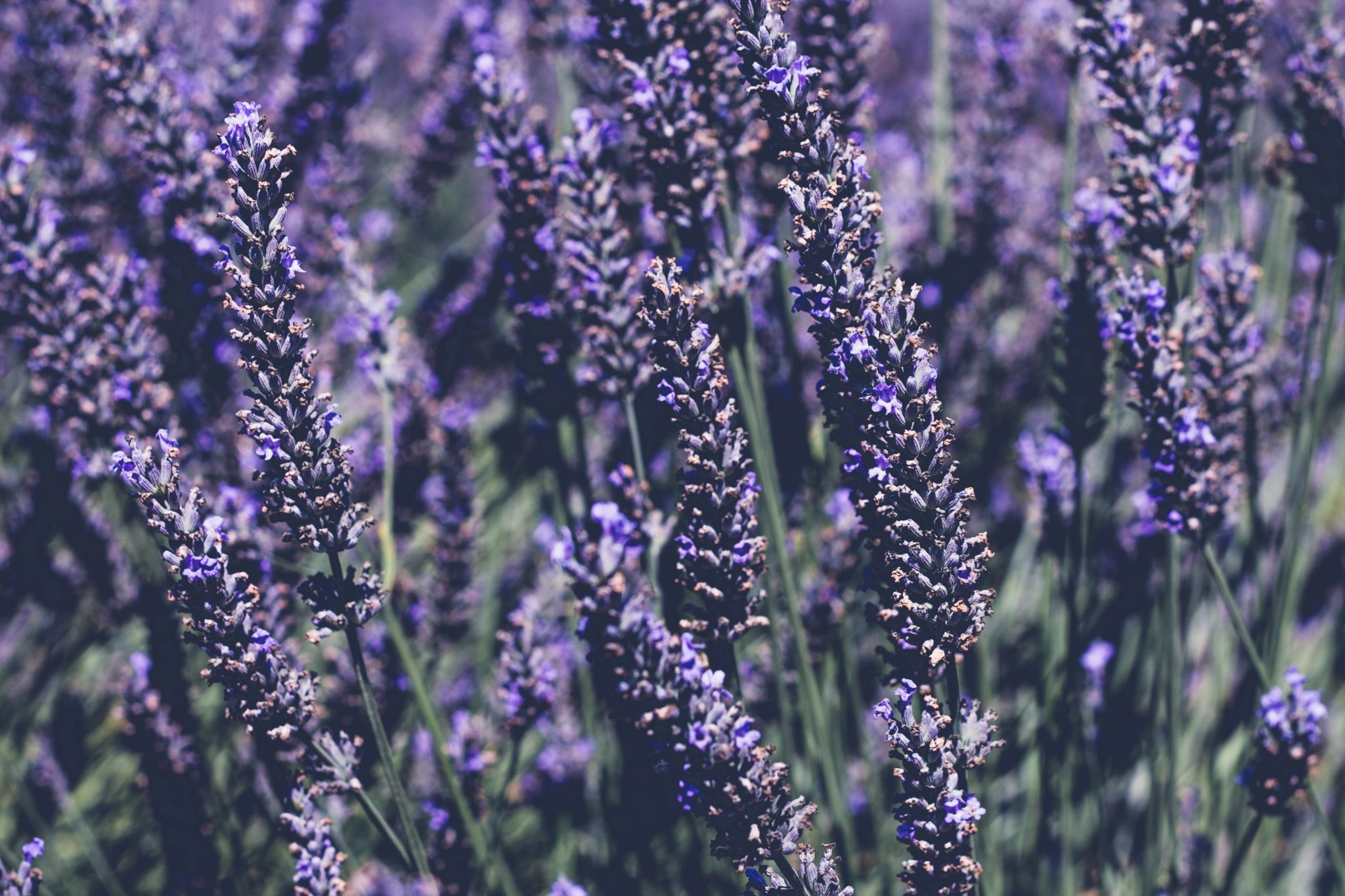 Lavender is a calming ingredient for sensitive skin.